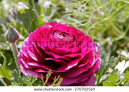 Pink  Persian buttercups, Ranunculus asiaticus - stock photo