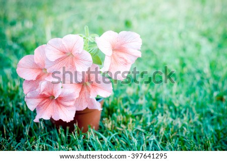 Pink petunia flowers in the garden in Spring time - stock photo