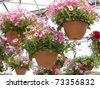 Pink petunia hanging baskets for sale in a glass greenhouse. - stock photo