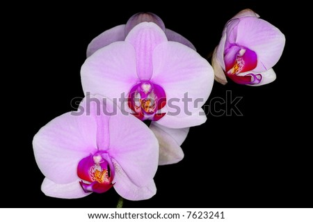 Pink phalaenopsis on black