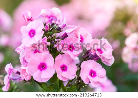 Pink phlox flowers in summer garden, macro photo with selective focus - stock photo