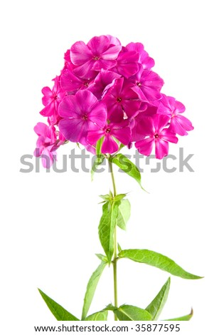 Pink phlox isolated on a white background