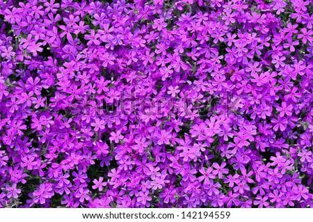 Pink phlox subulata flowers background - stock photo