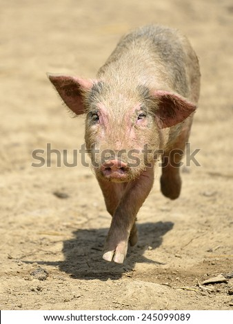 Pink piglet (Sus) running of front on the ground - stock photo