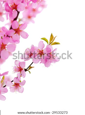 Pink Plum Blossom Isolated on White,Close-up - stock photo