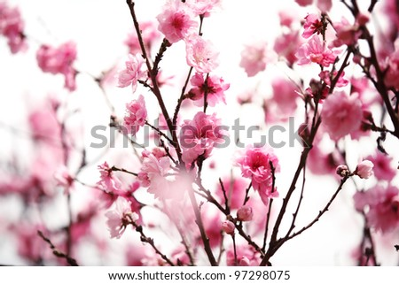 Pink plum blossom on White - stock photo