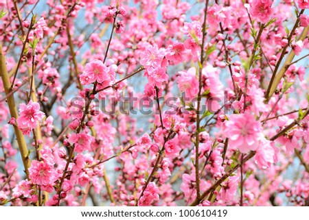 Pink plum blossoms - stock photo
