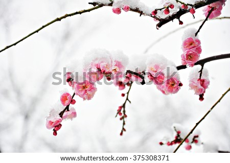 Pink Plum Flower under Snow with white background - stock photo
