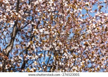 Pink Plum Tree Flowers Blooming In Spring - stock photo