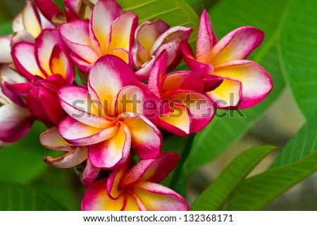 Pink plumeria - stock photo