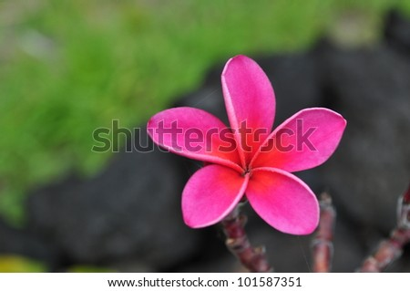 pink plumeria, charcoal lava rock and lush greenery - stock photo