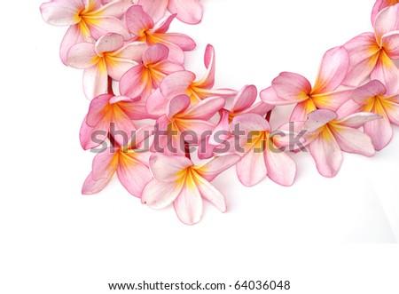 Pink Plumeria flowers - stock photo