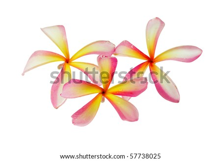 Pink Plumeria Flowers on the tree - stock photo