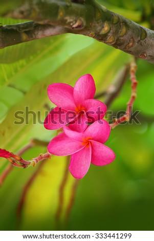 Pink Plumeria Frangipani Flower - stock photo