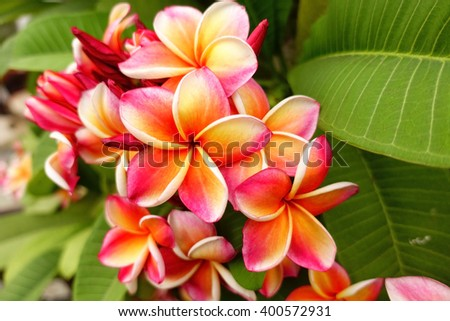 Pink plumeria on the plumeria tree, frangipani tropical flowers with blurry background:select focus with shallow depth of field:ideal use for background.