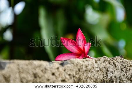 Pink plumeria on Wall blocks, frangipani tropical flowers.Pink Plumeria fall pattern quiet solitude . - stock photo