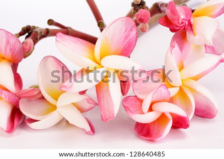 Pink plumeria  on white - stock photo