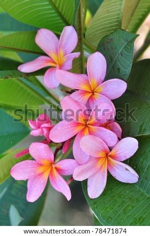 Pink plumerua - stock photo