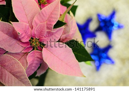 Pink poinsettia Christmas star flower with three blue ornaments in background - stock photo