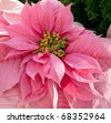 Pink Poinsettia (euphorbia pulcherrima) - stock photo