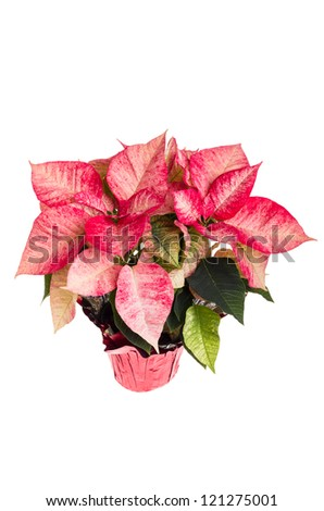 Pink poinsettia flower isolated on white - stock photo