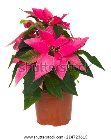 pink poinsettia flower or christmas star in pot isolated on a white background  - stock photo