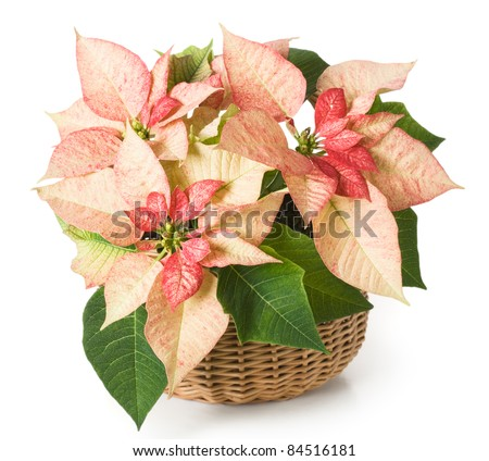 Pink poinsettia in a basket - stock photo