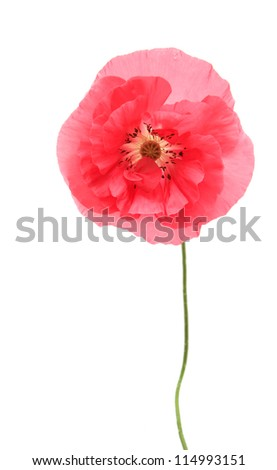 Pink poppy isolated on white background - stock photo