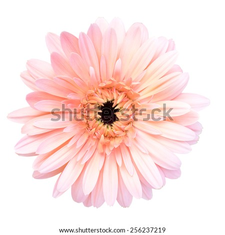 Pink pot marigold isolated - stock photo