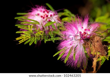 Pink powderpuff blooming like dream(Calliandra surinamensis, Family Mimosaceae, common names Pink Powder Puff, Pompon De Marin, Surinam Powderpuff, Surinamese Stickpea)