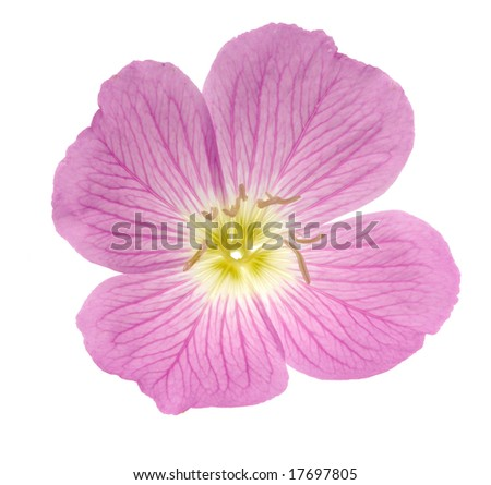 Pink primrose isolated on white background