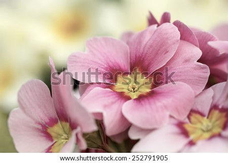 Pink primroses macro photo, shallow depth of field. - stock photo