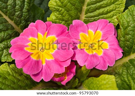 Pink primroses ( polyanthus ) in the flowerbed. - stock photo