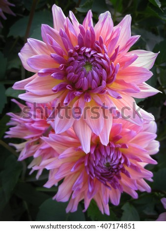Pink purple dahlia flower closeup in a natural garden environment - stock photo