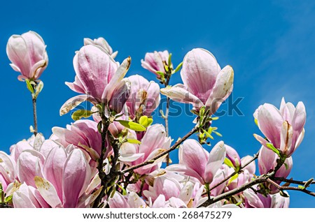 Pink, purple Magnolia branch flowers, tree flowers, blue sky background. - stock photo
