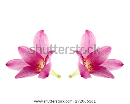 pink-purple rain lily, zephyranthes, on white - stock photo
