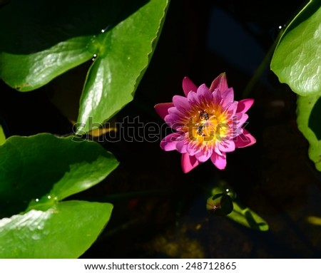 pink purple water lily on water  - stock photo