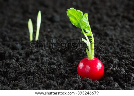 Pink radish, sprout  on the ground and on black