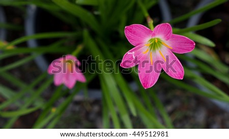 Pink Rain Lily Flowers Bloom