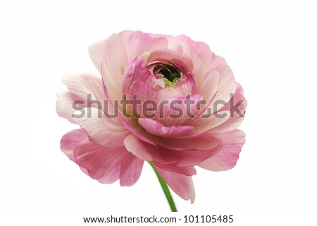 Pink ranunculus isolated on white background - stock photo