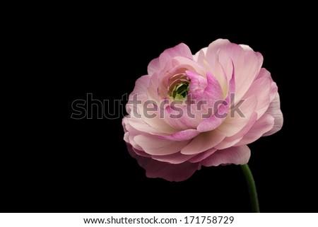 Pink ranunculus on black background  - stock photo