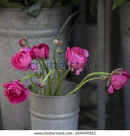 pink ranunculus (persian buttercup) at the shop - stock photo