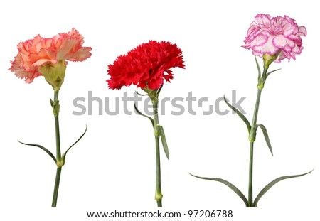 pink red purple carnation flowers isolated on white - stock photo