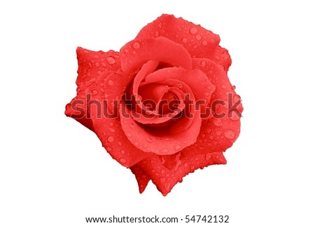 Pink-Red Rose Flower with Rain Drops Isolated on White - stock photo