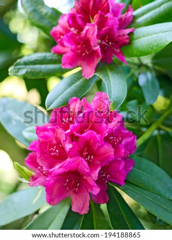 Pink Rhododendron - stock photo