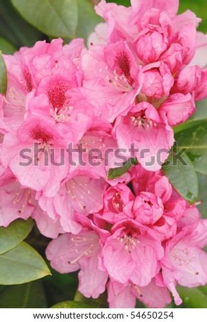 Pink rhododendron - azalea - stock photo