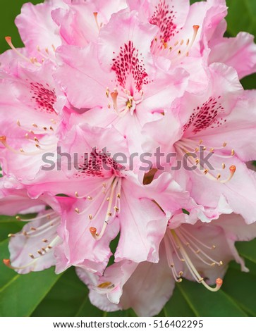 Pink rhododendron blossom close-up