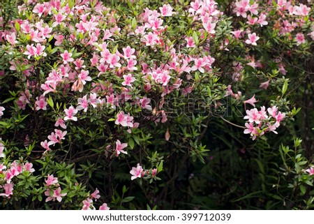 Pink Rhododendron bush blooming in the park(Rhododendron kanehirai)