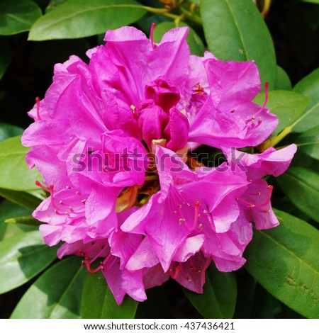 Pink rhododendron flower growing on the bush - stock photo