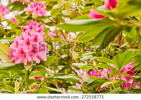 Pink rhododendron flowers on the green bush - stock photo
